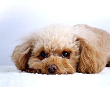 川口市の動物病院「どうぶつのセンター病院」の白内障予防(犬・猫)