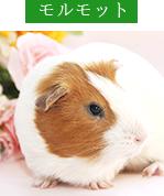 対象診療動物・モルモット